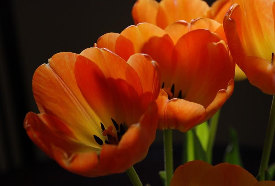 2018Nature___Flowers_Orange_tulips_close-up_124707_