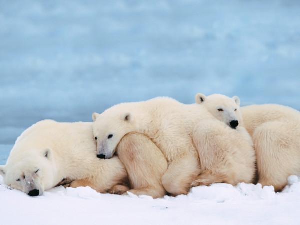 04_white_bears