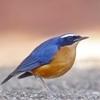 ndian Blue Robin