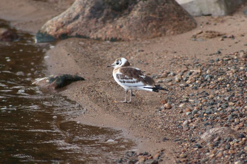 Слеток (птенец) озерной чайки
