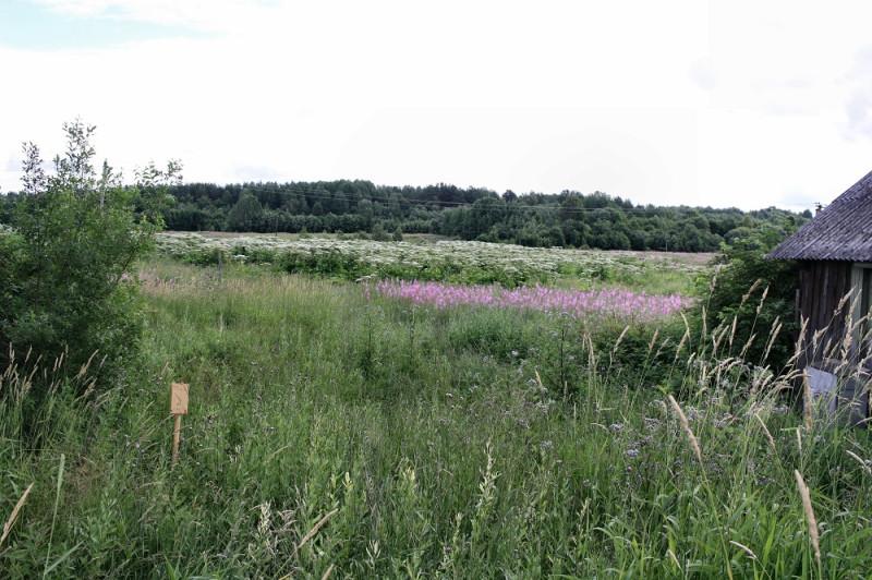 Село Кончезеро. Заросли борщевика на совхозном поле
