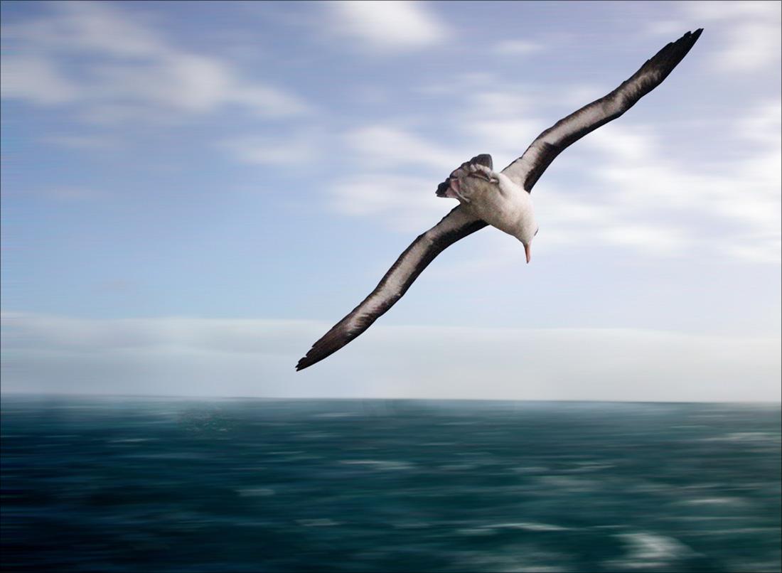 01 Чернобровый альбатрос.jpg