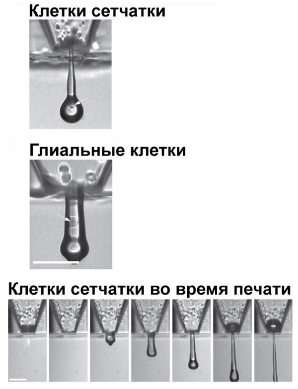 3d-printere-kletki-glaza-3