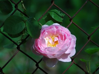 chain link rose - morning