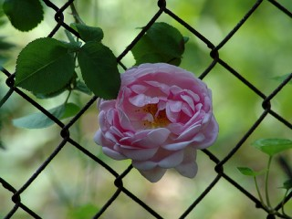 chain link rose - afternoon