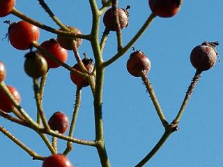 multiflora rose hips detail