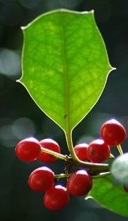 holly leaf with berries