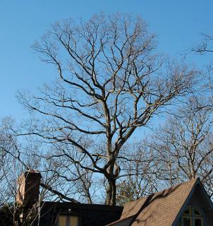 overhanging oak