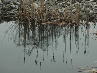 reflection, reeds and tree