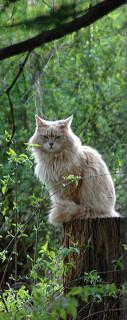 Maple (cat)