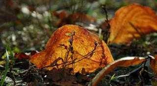 fallen dogwood leaf