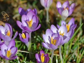 crocus cluster with airborne visitor