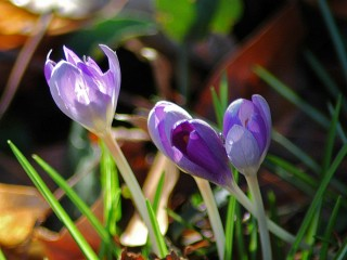 crocus cluster in afternoon light