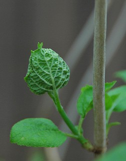 hydrangea furled
