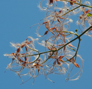 clematis against sky