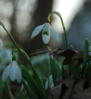 snowdrops in the Circle