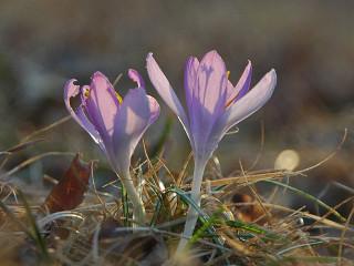 Jackson Park crocus meadow
