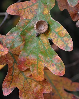 oak leaf and acorn cap