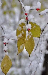 snow on honeysuckle leaves