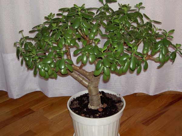 Цветок денежное дерево уход в домашних условиях
