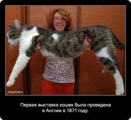 67-интересные факты о кошках в картинках