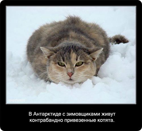 74-интересные факты о кошках в картинках