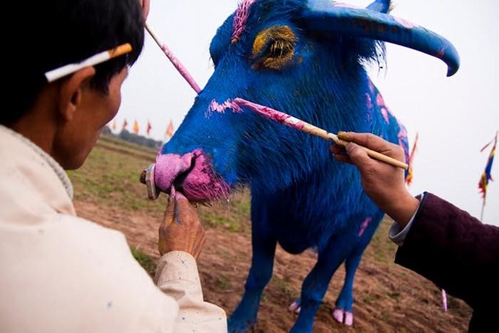 Bull Painting Festival, ежегодный традиционный фестиваль боди-арта на быках_3