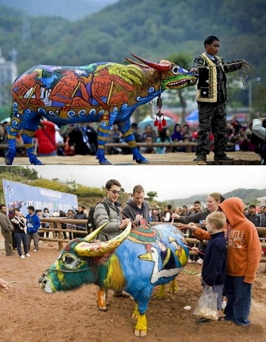 Bull Painting Festival, ежегодный традиционный фестиваль боди-арта на быках_5