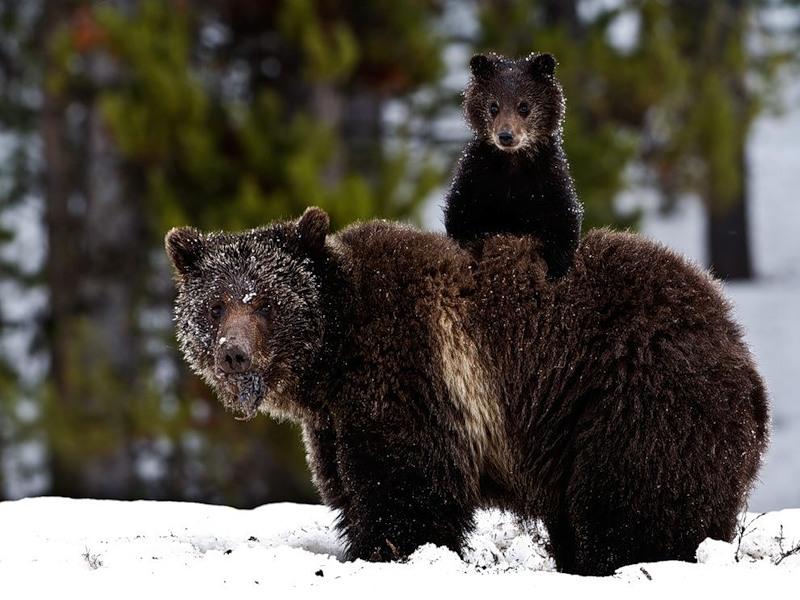 медведица Гризли с медвежонком