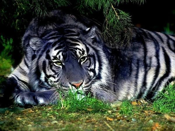 голубой тигр