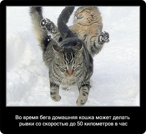 29-интересные факты о кошках в картинках