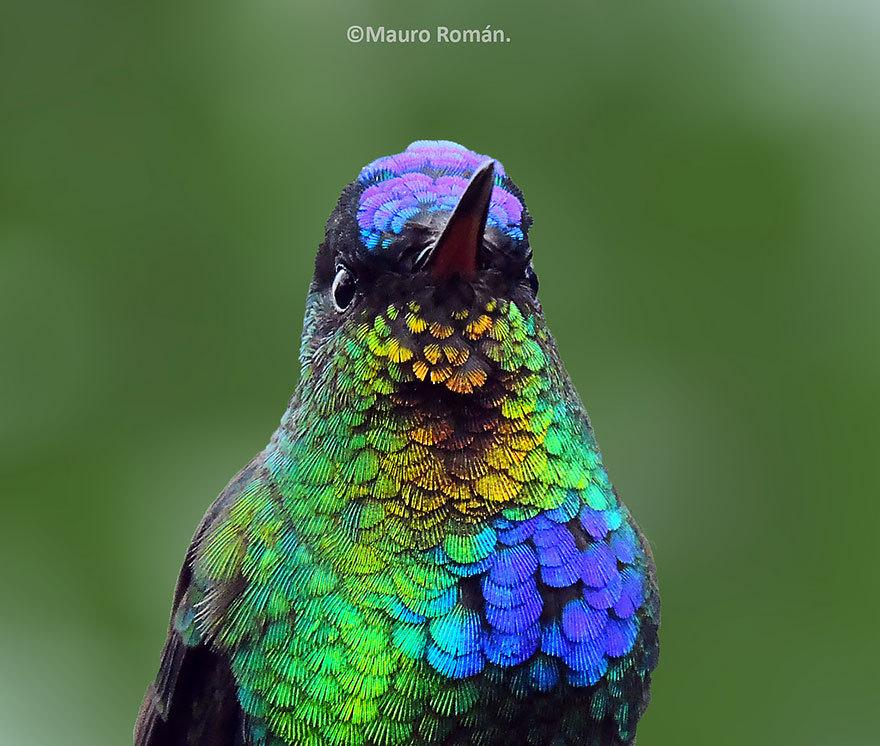 Уникальная миниатюрная красота колибри (20 фото)