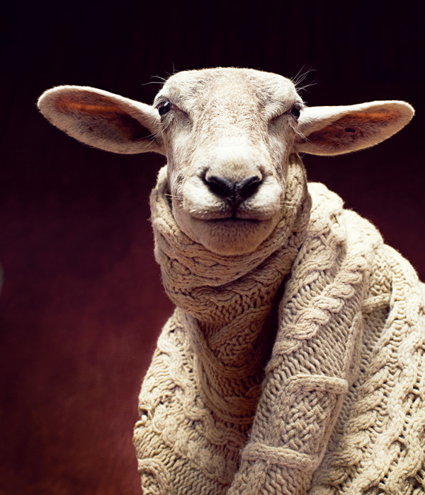 sheepinwool
