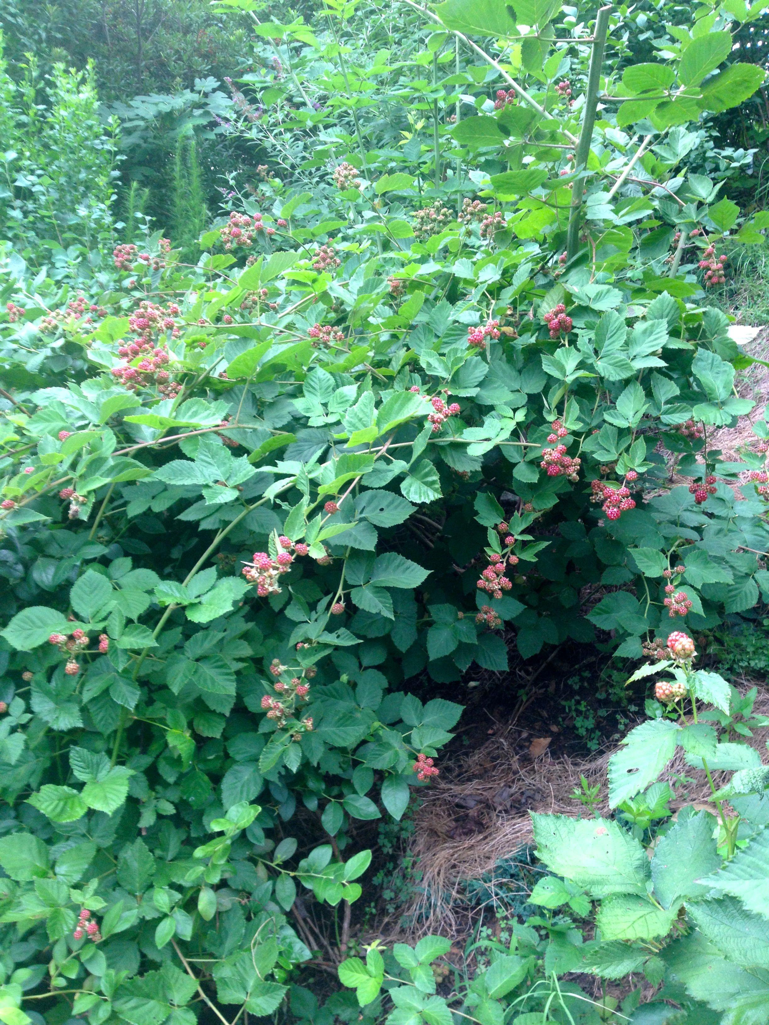thornless blackberries2