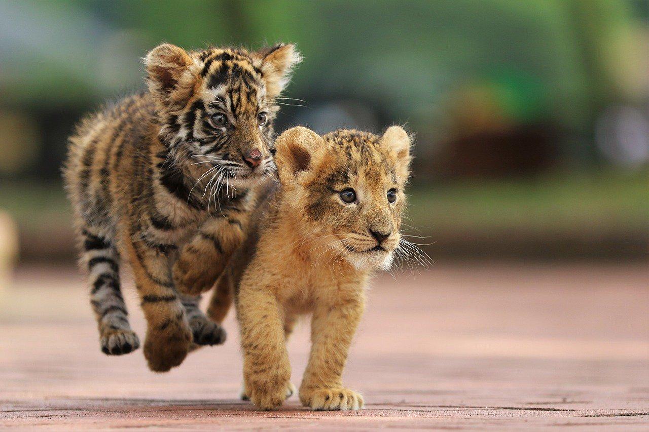 Для, картинки с тигрятами и львятами
