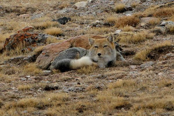 121021 JIB Tibetan Fox 1_resize