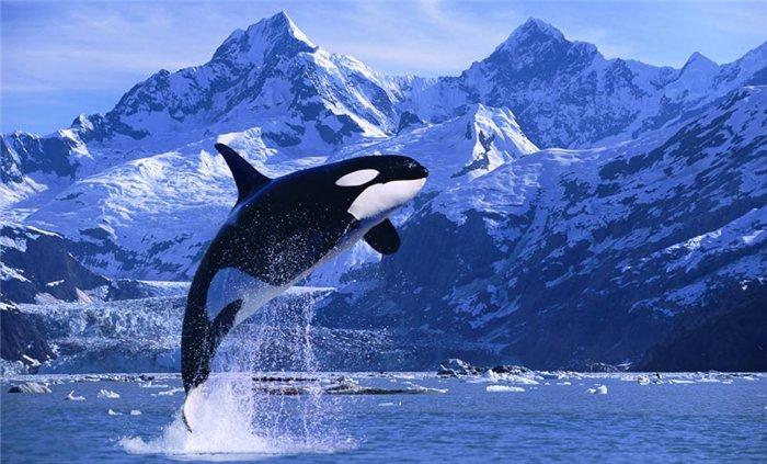 Орка кит убийца или разумный дельфин