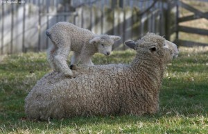 Лестерские овцы