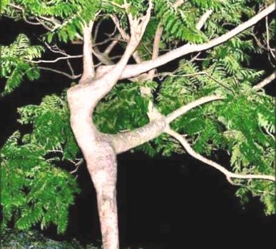 дерево-балерина