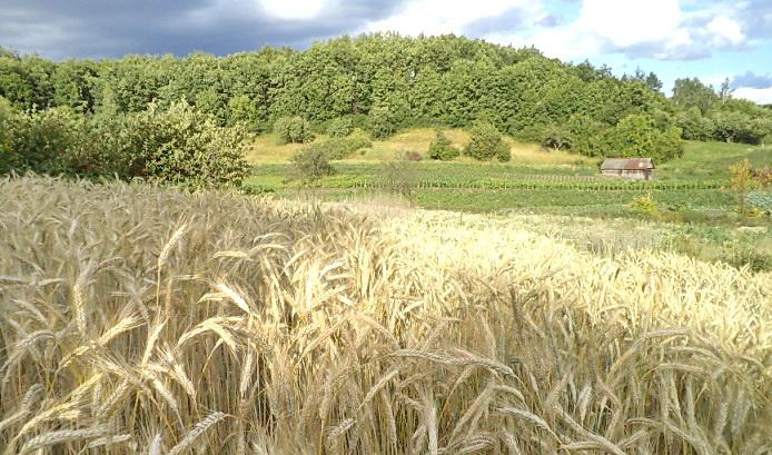 пшеница 24 июня смалл 2