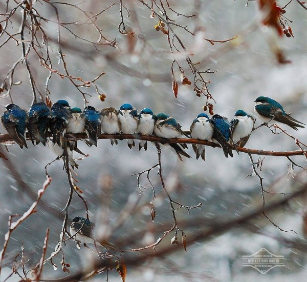Swallows in a Yukon River snowstorm