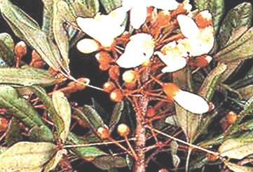 катуаба - болеутоляющее и стимулирующее либидо