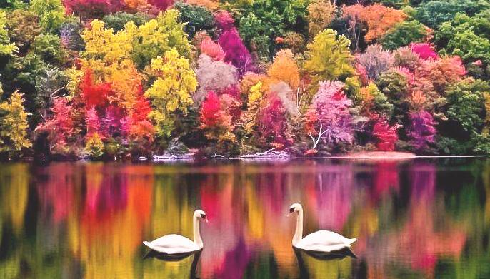 ___цветущие лебеди