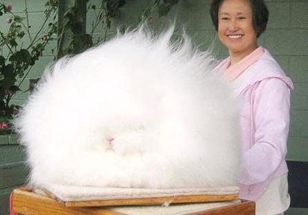 Angora rabbit 1