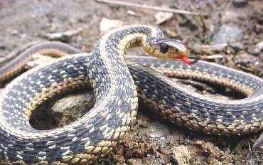 _змея
