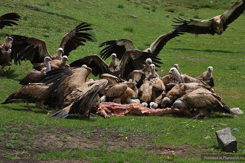 похоронное скармливание птицам, Тибет 2