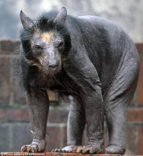 бритый медведь