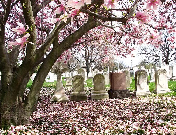 надгробия под цветущим деревом