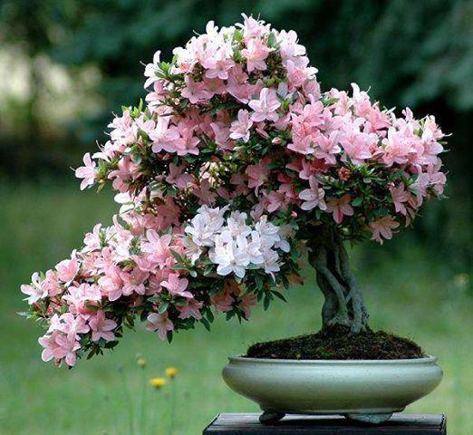 бонсаи в цвету