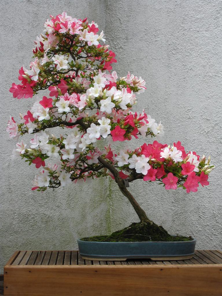 бонсаи цветущее
